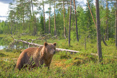 Brown bear in forest clearing Royalty Free Stock Image