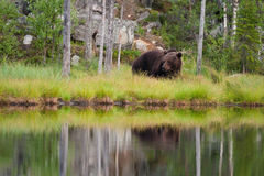 Brown bear in forest. In summertime Royalty Free Stock Image
