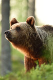 Brown bear in the forest Royalty Free Stock Image