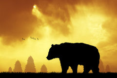 Brown bear in the forest at sunset Stock Images