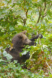 Brown bear in forest stock image