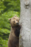 Brown Bear in forest Stock Photos