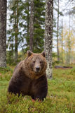 Brown bear in forest Stock Photography