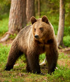 Brown bear in the forest. Wild brown bear walking in the green finnish taiga stock photography