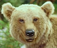 Brown bear in the forests. Brown bear in the middle of the forests royalty free stock photo