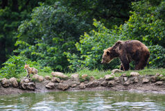 Brown bear and fox walking in the forest. Near a lake Stock Images