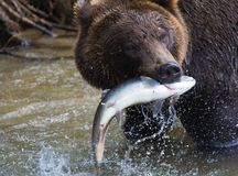 Brown Bear with a fresh catch of salmon Royalty Free Stock Images