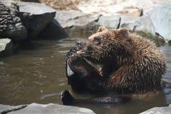 Brown bear, funny Stock Photos