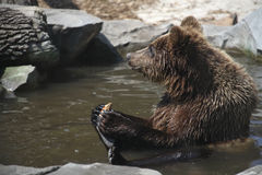 Brown bear, funny Royalty Free Stock Photos