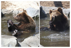 Brown bear, funny, collage Stock Images