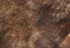 Brown bear fur texture. Texture of brown bear fur hunted in Rondei mountains, the Carpathians, Romania Royalty Free Stock Image
