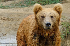 Brown bear. A brown bear gazing at somewhere Royalty Free Stock Photos