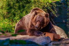 Brown Bear. Giant Brown bear feeds from a cardboard box, in Woodland Park Zoo Royalty Free Stock Photo