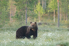 Brown bear going and watching Royalty Free Stock Image