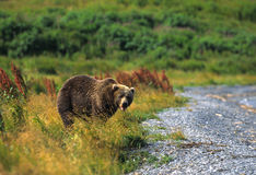 Brown Bear in Grass. A kodiak brown bear takes a break from eating in grass along a lake Royalty Free Stock Images