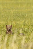 Brown bear in grass Stock Image