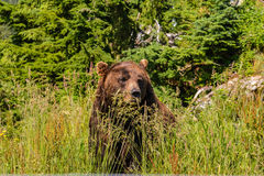 Brown bear in the grass. Brooding brown bear sitting in the grass Royalty Free Stock Photos