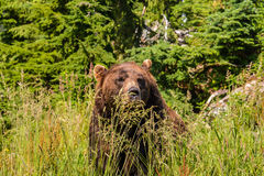 Brown bear in the grass. Brooding brown bear sitting in the grass Royalty Free Stock Images
