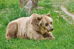 Brown Bear on the Grass Stock Images
