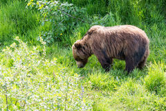 Brown Bear Grazing Royalty Free Stock Images