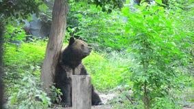Brown bear stock video