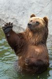 Brown bear greets somebody Royalty Free Stock Photography