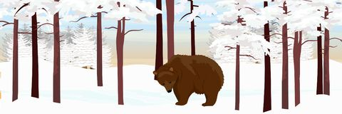 A brown bear grizzly walks through a snowy pine forest stock illustration