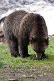 Brown Bear in Grouse Mountain Vancouver Stock Photo