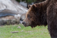Brown Bear in Grouse Mountain Vancouver Royalty Free Stock Image