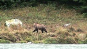 Brown Bear Having Fun stock footage