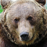 Brown bear. Head of a  Brown bear Stock Image