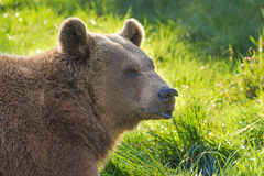 Brown Bear Head Stock Photo