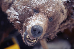 Brown bear. Head portrait snow Stock Photos