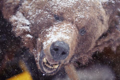 Brown bear. Head portrait snow Royalty Free Stock Photo