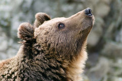 Brown bear head profile Royalty Free Stock Photo