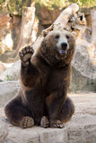 Brown bear hello. Friendly brown bear sitting and waving a paw in the zoo Stock Images