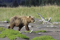 Brown Bear on her way to eat some grass. Bears come out to the ocean on low tide as they can small the clams under the wet sand Royalty Free Stock Photos