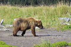 Brown Bear on her way to eat some grass. Bears come out to the ocean on low tide as they can small the clams under the wet sand Stock Photos