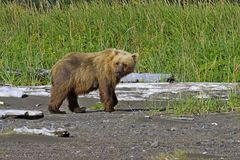Brown Bear on her way to eat some grass, while still watching her cubs. Bears come out to the ocean on low tide as they can small the clams under the wet sand Stock Photos