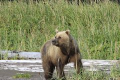 Brown Bear on her way to eat some grass, while still watching her cubs. Bears come out to the ocean on low tide as they can small the clams under the wet sand Royalty Free Stock Photos
