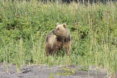 Brown Bear on her way to eat some grass, while still watching her cubs. Bears come out to the ocean on low tide as they can small the clams under the wet sand Stock Images