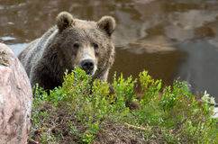Brown bear hiding Royalty Free Stock Images