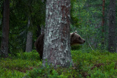 Brown bear hiding behind the tree. Brown bear, Ursus arctos, trying to hide behind a tree in a Finnish taiga forest Stock Photo