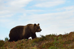 Brown bear on the hill Royalty Free Stock Photos