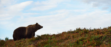 Brown bear on the hill Stock Images