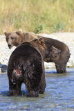 Brown bear with hind injury from fighting Stock Photography