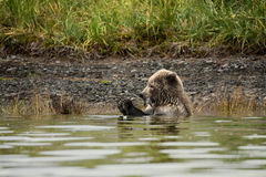 Brown Bear. Hunted fish, sitting in water, eating Royalty Free Stock Photography