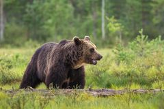 Brown bear i swamp. Big brown bear i swamp looking to the left Stock Image