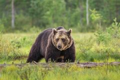 Brown bear i swamp. Big brown bear i swamp looking up Stock Photography