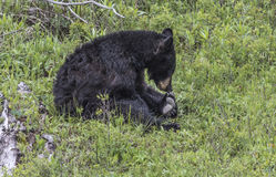 Brown Bear; I think I stepped i something unpleasant. Brown bear  sniffing his toes; Yellowstone National Park Royalty Free Stock Photos